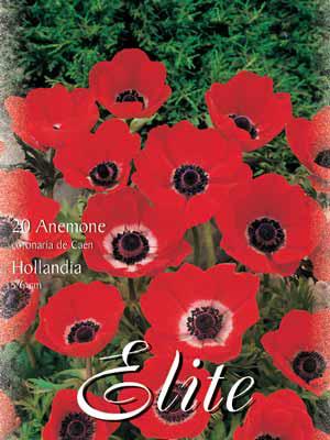 Anemone De Caen 'Hollandia', Anemone coronaria (Art.Nr. 520754)