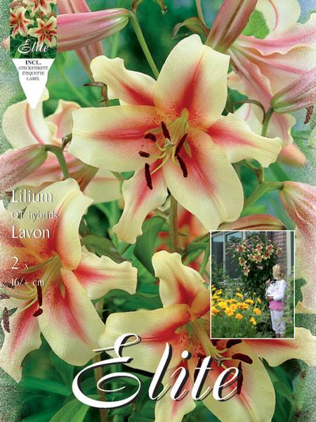 Baumlilien 'Lavon', Lilium (Art.Nr. 521714)