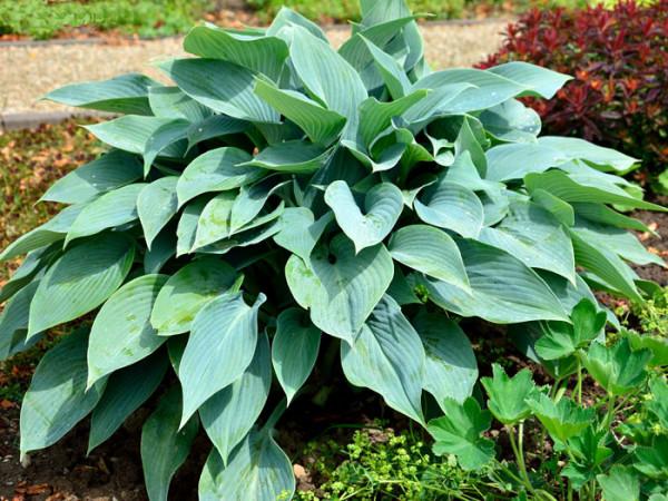 Hosta x tardiflora 'Halcyon', Blaublatt-Funkie, Herzblatt-Lilie