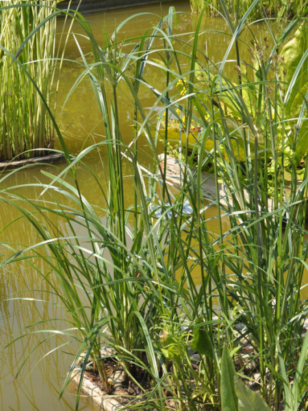 Cyperus longus, Hohes Zyperngras