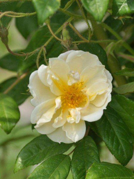 Blüte der Rose Lykkefund