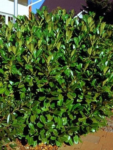 Kirschlorbeer Rotundifolia Pflanze