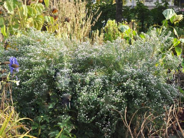 Aster ericoides 'Schneetanne', Myrtenaster, Garten-Erika-Aster