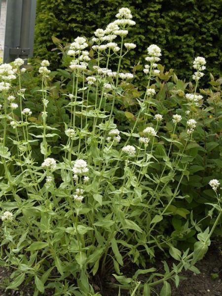 Centranthus ruber 'Albus', weiße Spornblume