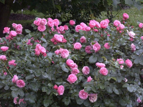 Strauch der Rose Leonardo da Vinci
