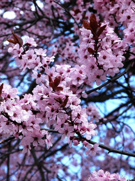 Prunus cerasifera 'Nigra', Blutpflaume