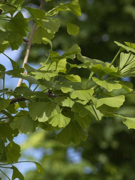 Das Blatt des Ginkgobaums