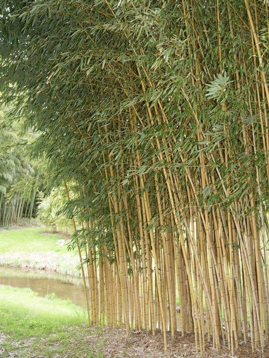 phyllostachys aureosulcata aureocaulis gartencenter shop24. Black Bedroom Furniture Sets. Home Design Ideas