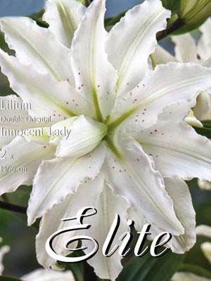 Orientalische Lilien-Hybride 'Innocent Lady' ('Polar Star'), Lilium (Art.Nr. 521730)