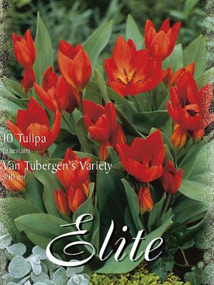 Botanische Tulpe 'Van Tubergen's Variety' (Art.Nr. )