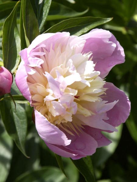 Paeonia x lactiflora 'Bowl of Beauty', Edel-Pfingstrose