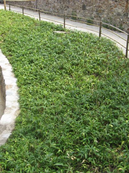 Pleioblastus als Bodendcker eingesetzt