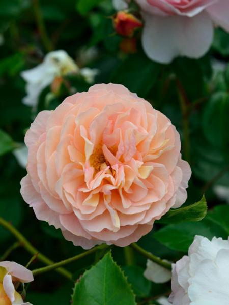 Blüte der Rose Sangerhäuser Jubiläumsrose