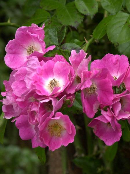Blüte der Rose American Pillar