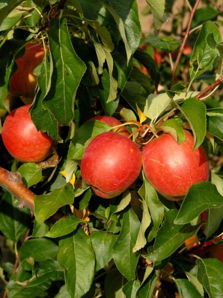 Apfel Rewena