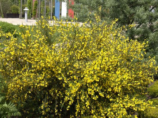 Besenginster als Blütenhecke