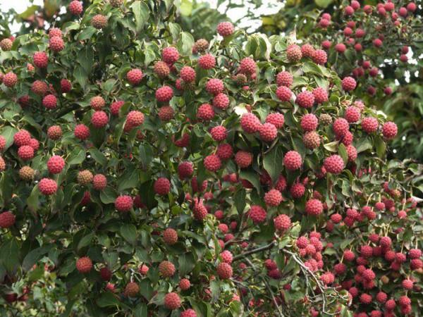 Fruchtkleid des Chinesischen Blumenhartriegels
