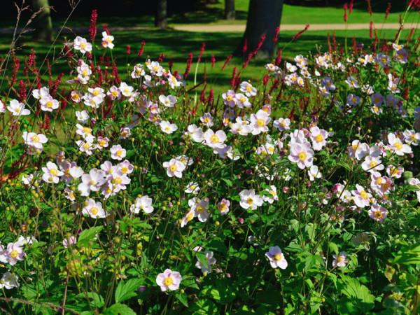Reiche Blüte der China-Anemone 'Ouvertüre'