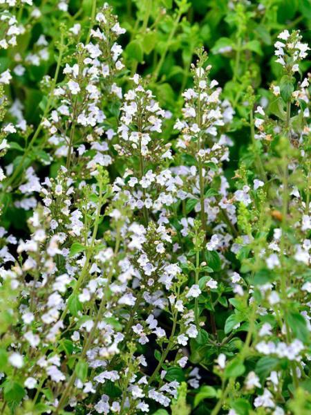 Die Bergminze mit zahlreichen, weißen Blütenständen