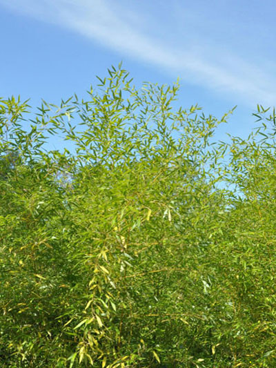 Phyllostachys bambusoides 'Castilloni' - XXL- Produkt