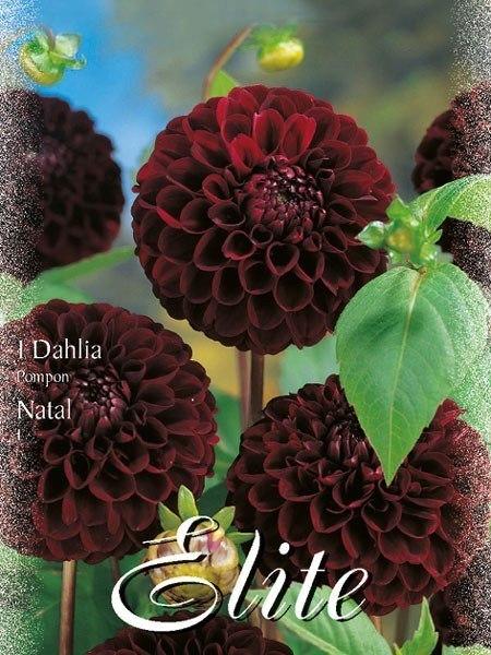 Pompon-Dahlie 'Natal', Dahlia (Art.Nr. 520446)