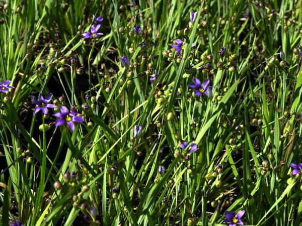 Sisyrinchium angustifolium, Blaue Binsenlilie