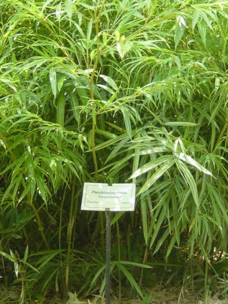 Pleioblastus chino 'Elegantissima', Buntblättriger Edelbambus