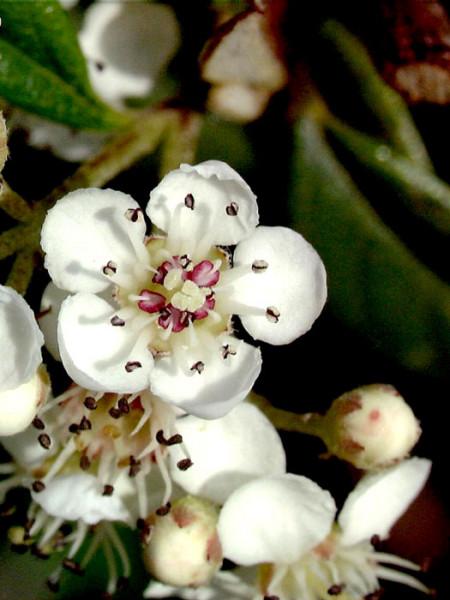 Blüte der Teppichmispel