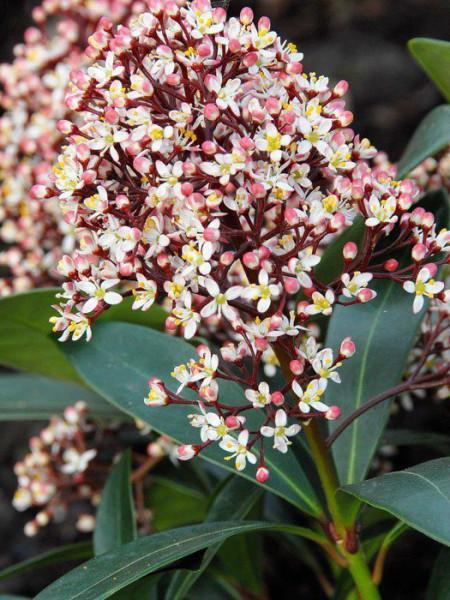 Skimmie Rubella Blüte