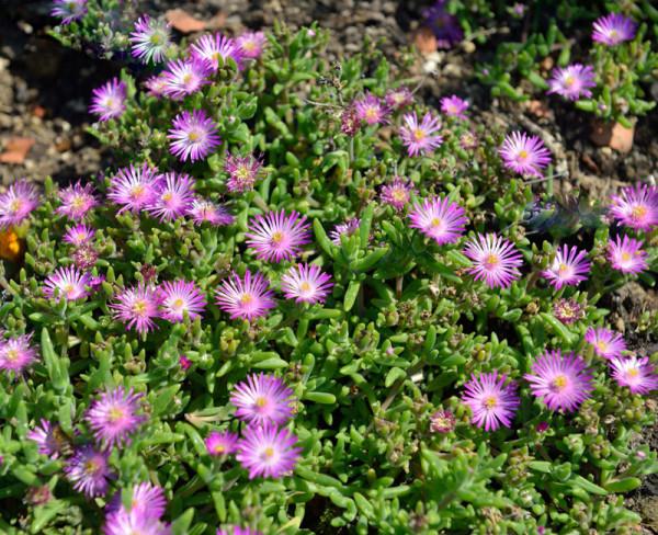 Delosperma Hybride 'Jewel of Desert Rosenquartz', Mittagsblume