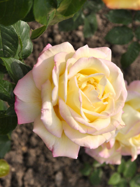 Rosen-Stämmchen Gloria Dei ® - Meilland