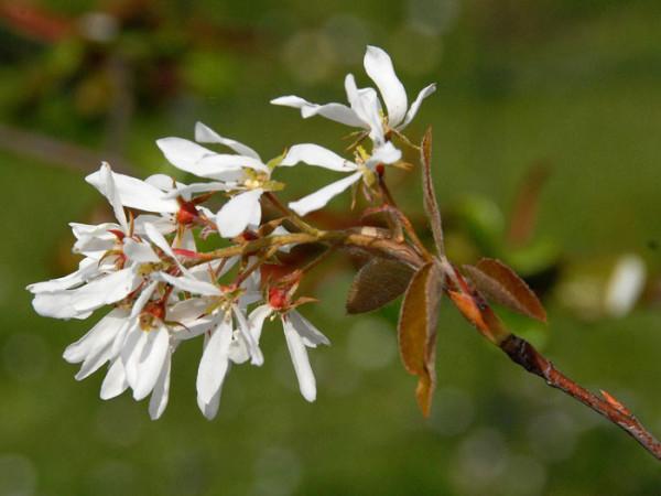 Schneeweiße Blüte an Triebspitze