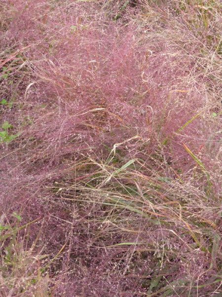 Eragrostis spectabilis 'Purpurflirren', Liebesgras