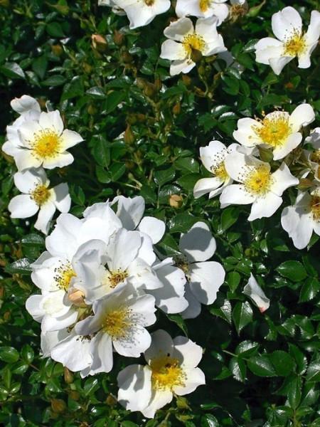 Rose Sonnenröschen ® - Kordes
