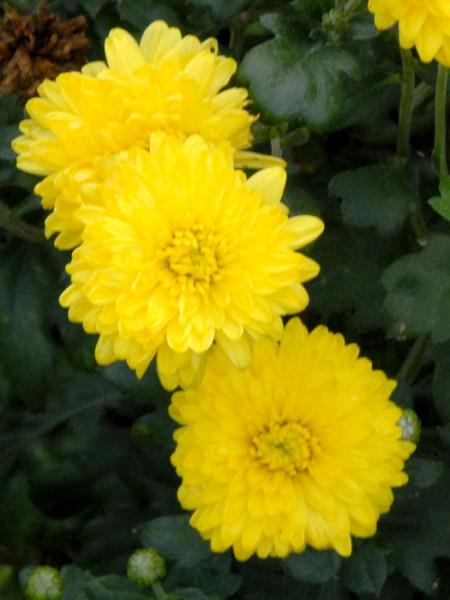 Chrysanthemum x hortorum 'Citronella', Winteraster, Herbst-Chrysantheme, Gartenchrysantheme