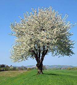 bluhender-kirschbaum