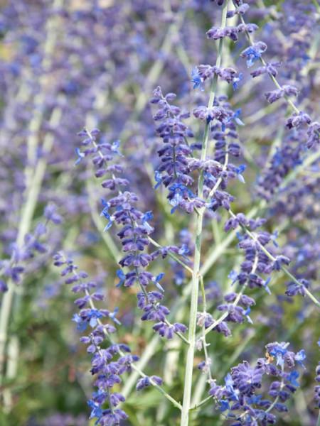 Blauraute Blüte