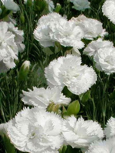 Dianthus plumarius 'Haytor White', weiße Federnelke