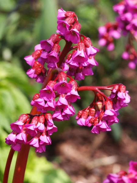 Die Blüte des Riesensteinbrechs 'Eroica'