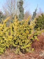 Juniperus chinensis 'Plumosa Aurea', Gelber Moos-Wacholder