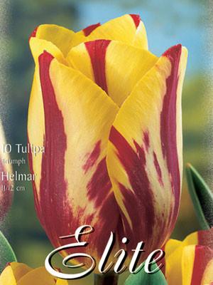 Triumph-Tulpe 'Helmar' (Art.Nr. 595214)