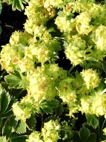 Blüte des Zwerg-Frauenmantels