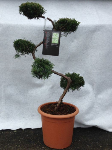 Juniperus virginiana 'Grey Owl', XXL-Produkt