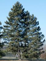 Pinus nigra austriaca, Österreichische Schwarz-Kiefer