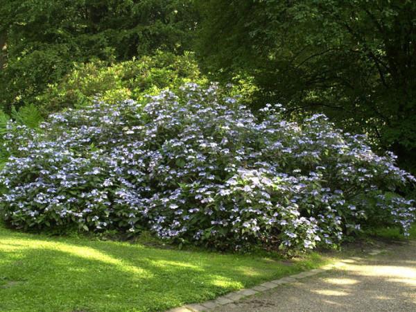 Hortensie Bluebird als Unterpflanzung