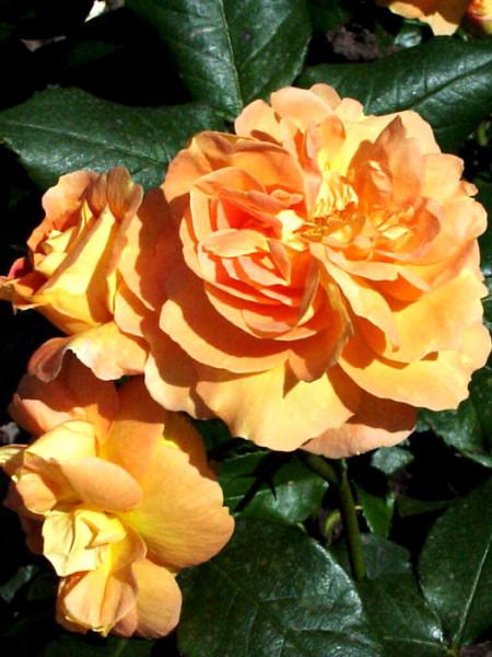 Blüte der Rose Bernsteinrose