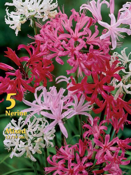 Guernsey-Lilien-Prachtmischung, Nerine bowdenii (Art.Nr. 522400)
