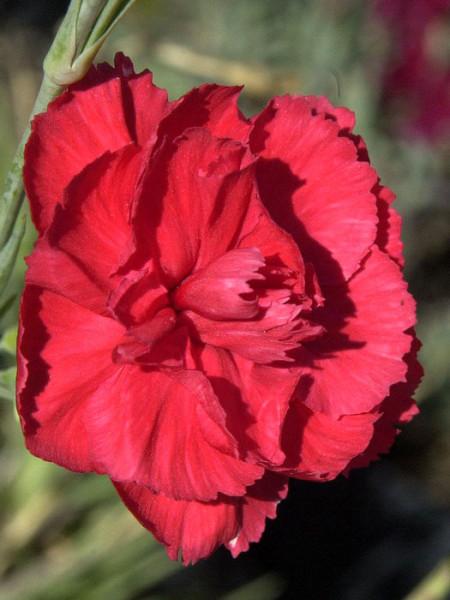 Dianthus plumarius 'David', rote Federnelke