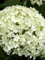 Hydrangea arborescens 'Annabelle', Ball-Hortensie