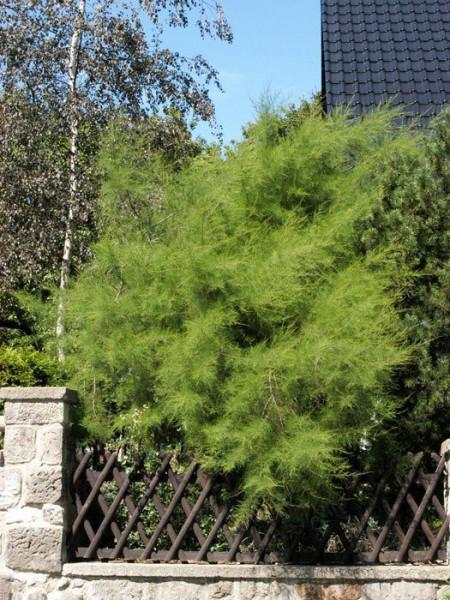 Frühlingstamariske Pflanze